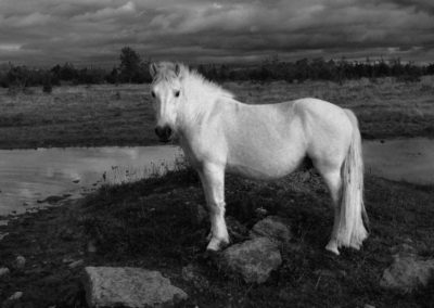 Graham-Davies_White-Pony